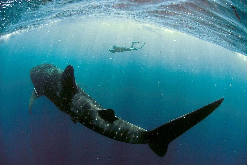 Protected: a diver photographs a whale shark at Ningaloo Marine Park.