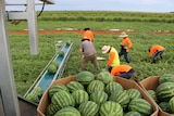 Harvesting melons at Territory Horticultural Farm, Ti Tree, Northern Territory