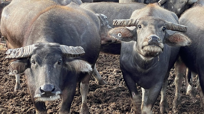 Two buffalo cows look towards camera as they settle into their new home in South Australia