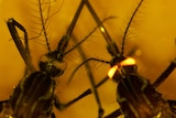 Close up of two mosquitoes. Mosquito on right has glowing eyes