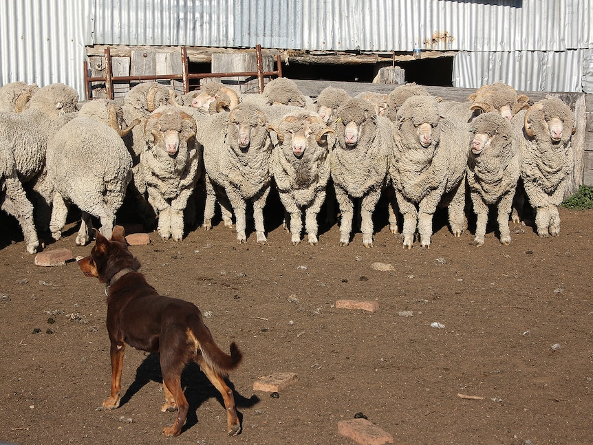A pen of Merino rams being mustered by a brown Kelpie dog