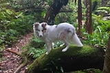 A medium sized white dog stands sideways on a large rock covered in green mossin the middle of a dense green forest