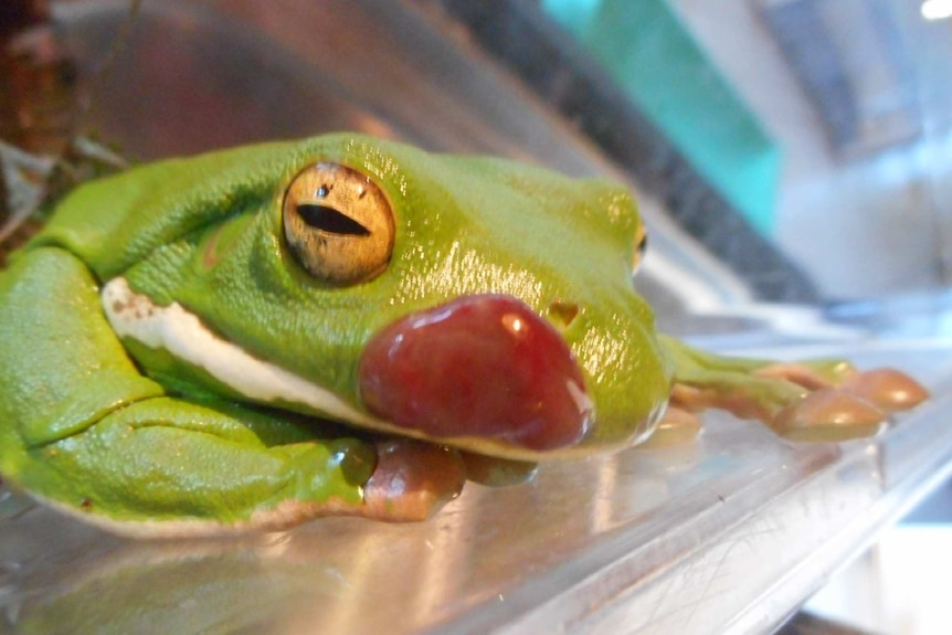 Close up of cancerous growth on a frog