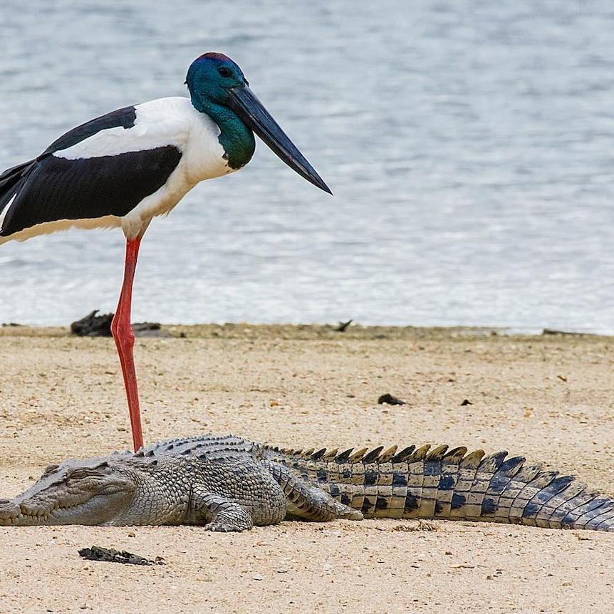 Long legged bird and crocodile together on the sand