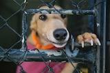 GAP greyhound waiting for adoption