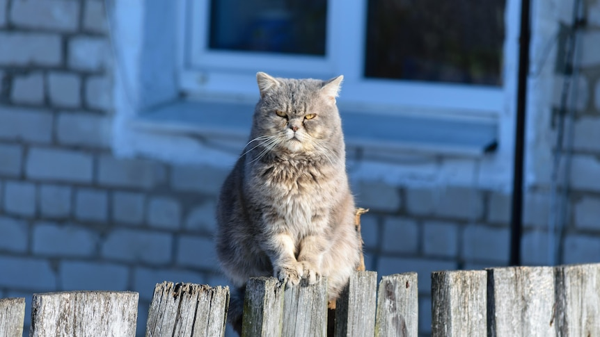 A grumpy-faced grey cat sitting on a wooden fence