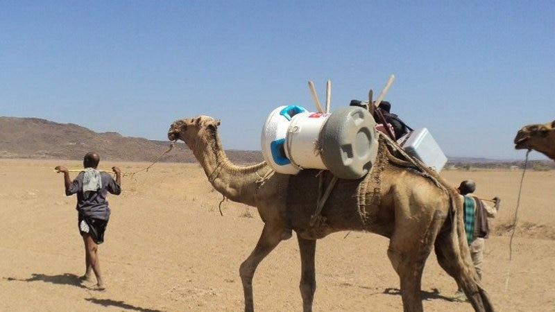 A camel gives a lift to the Arktek cooler