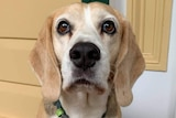 Beagle dog with brown eyes and droopy ears sit on a verandah looking at the camera.