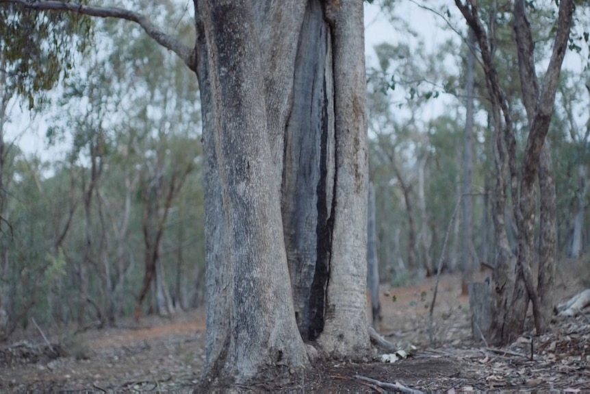 A tree with bark taken from it to make a canoo