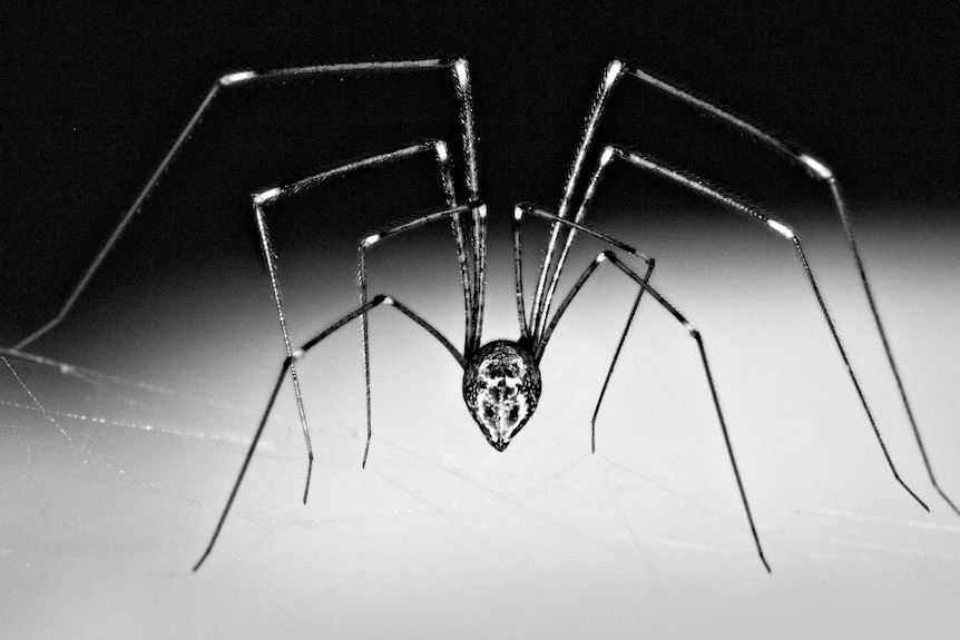 A close up black and white shot of a daddy-long-legs spider.