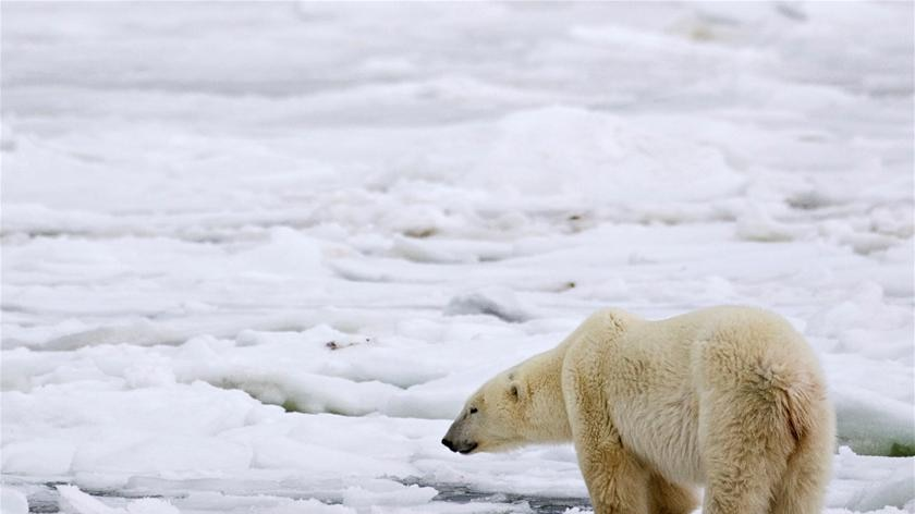 A male polar bear waits for an ice sheet to form