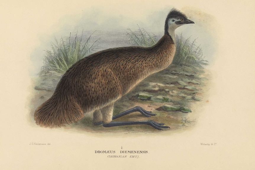 Picture of an emu