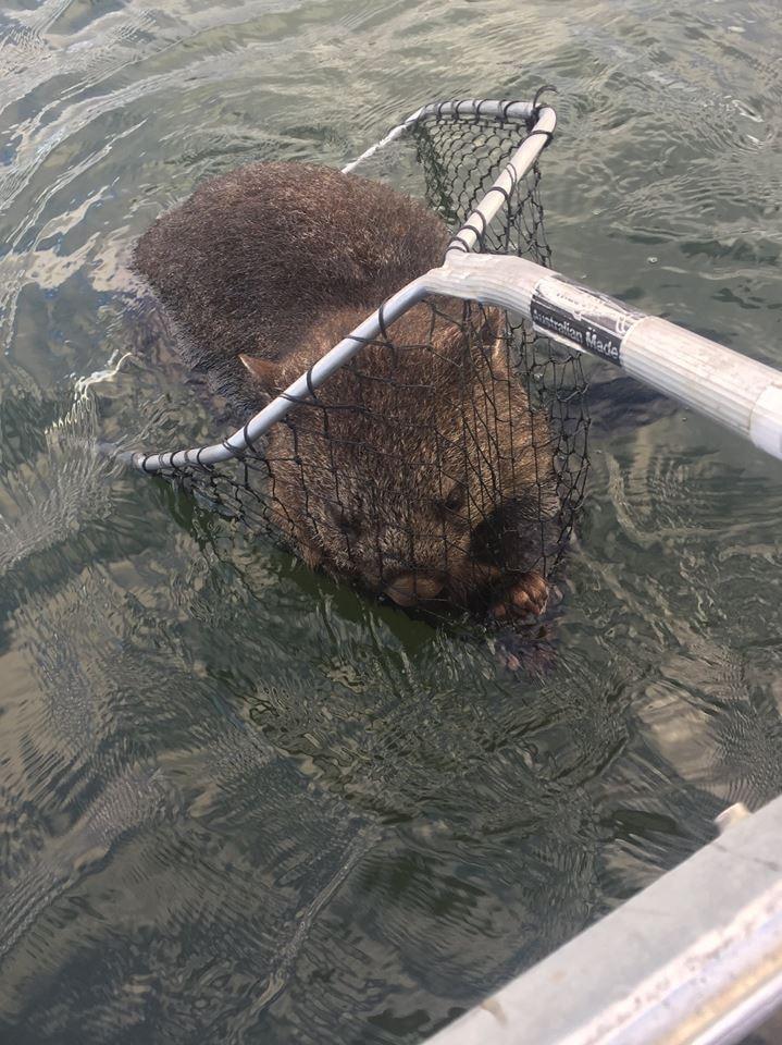Wombat rescued by fishermen