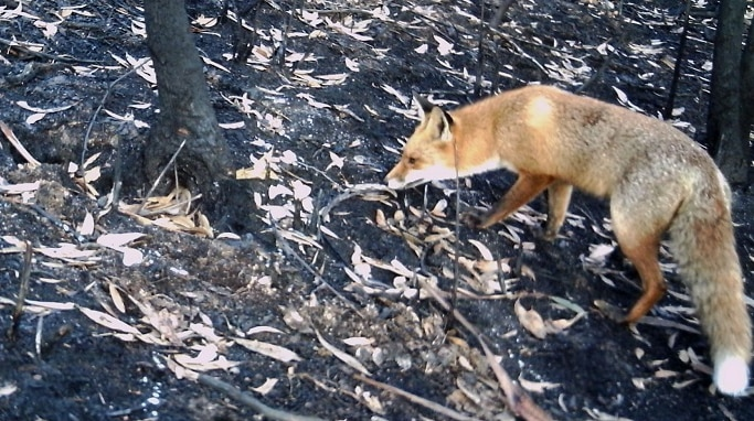 A fox is pictured in an burnt out area.