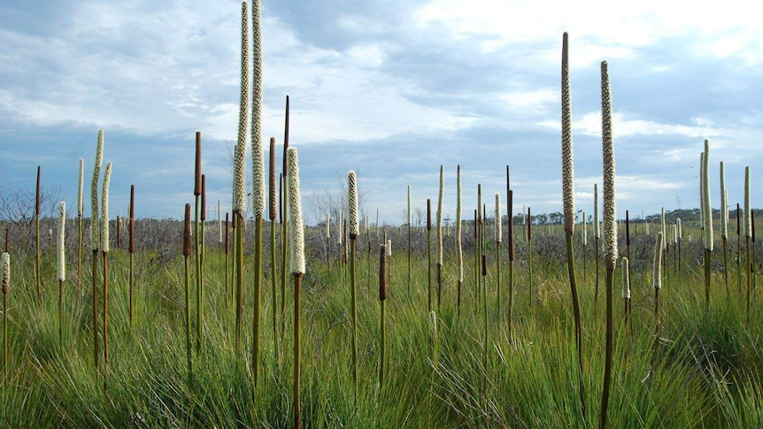 Long, thin, tall flowers bloom in a long grassy swamp.