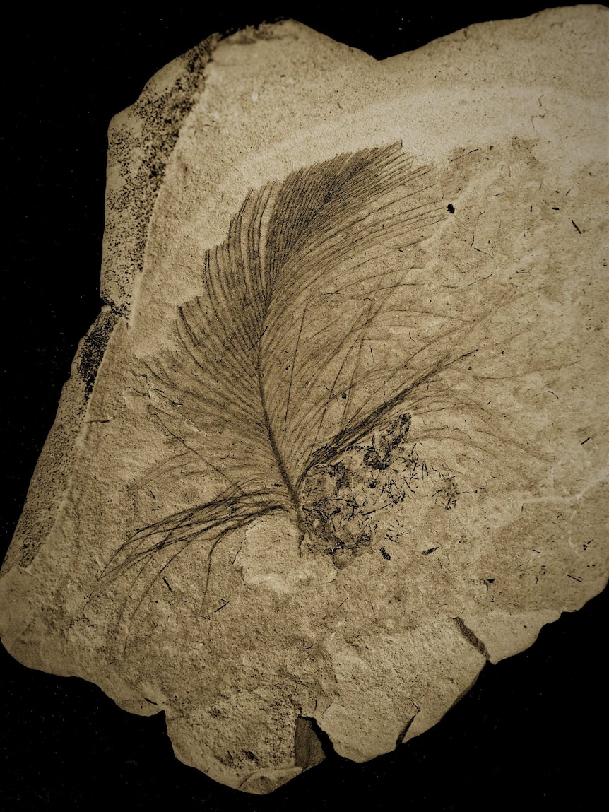fossilised feather