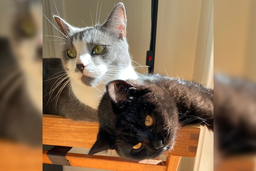 A grey and white cat and a black cat relax against each other, bathing in the sun.
