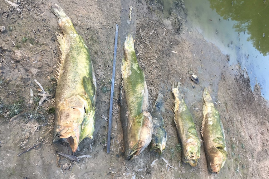 Five dead Murray Cod on the banks of the Lower Darling