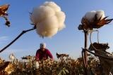 A farmer picks cotton from a field in Hami, Xinjiang Uyghur autonomous region.