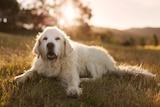 A golden retriever dog relaxes in the grass.