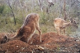 Deer rooting around in what appears to be a burrow.