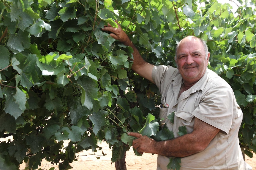 Grape grower Jack Papageorgiou inspects his crops.