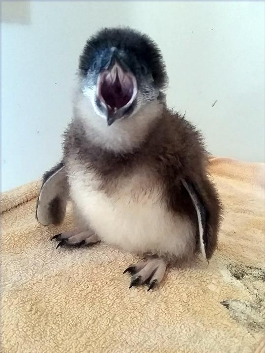 Rescued little penguin chick