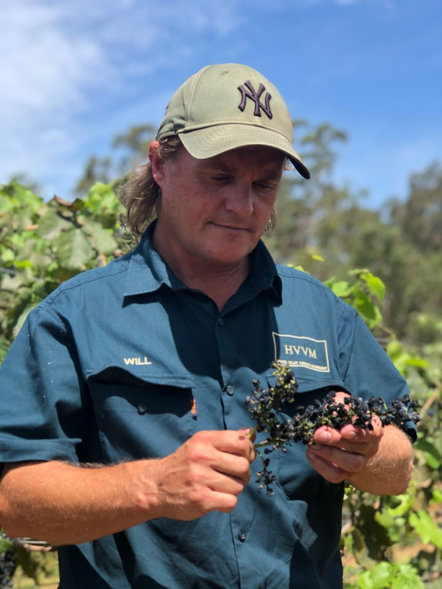 Will Capper holds dried grapes in his vineyard.