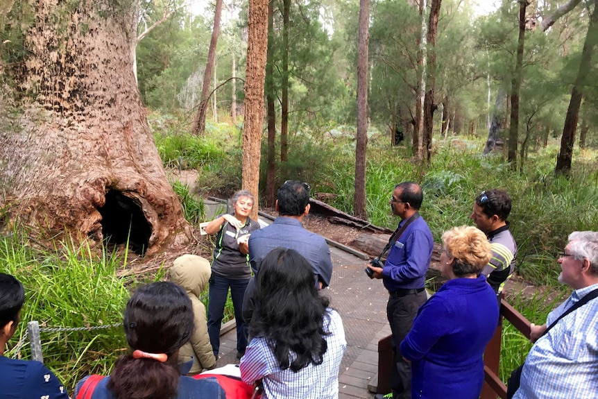 Giant tingle trees are among the attractions at the Valley of the Giants