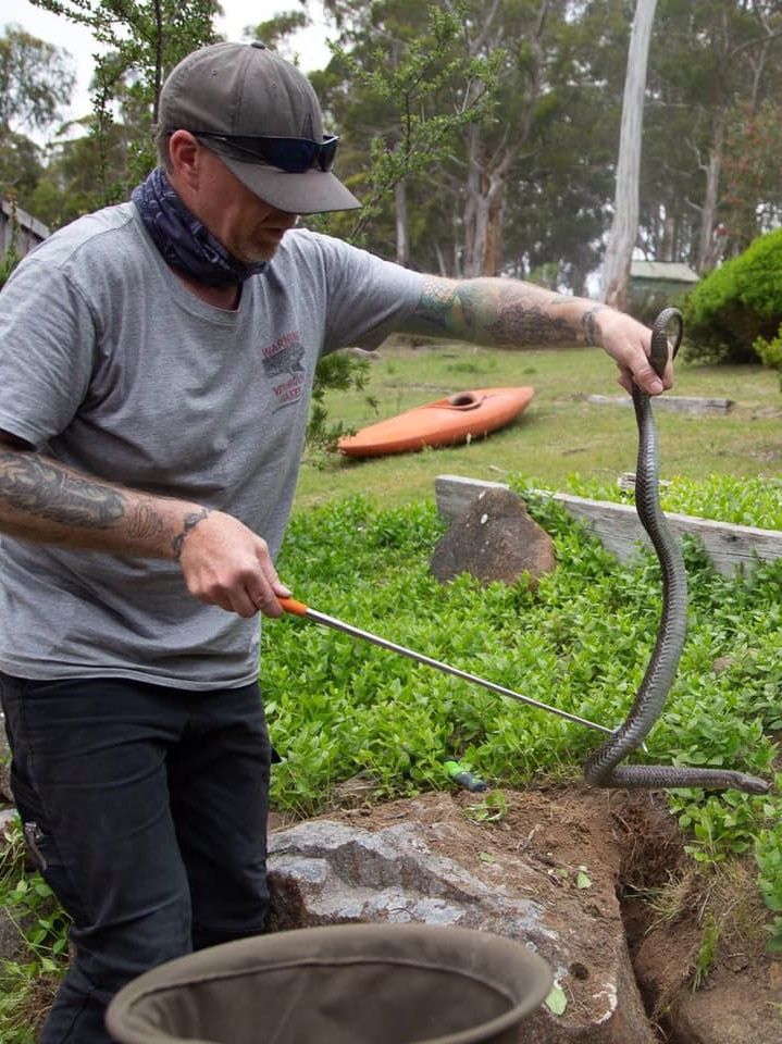 Man wrangling a tiger snake into a bag.