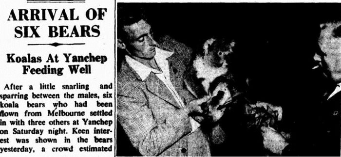 A report in The West Australian on the delivery of six 'bears' in April 1951