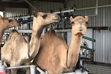 It takes between two and six weeks to teach wild camels to be milked.