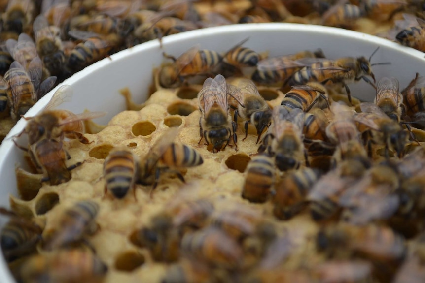 A close-up of bees in a hive