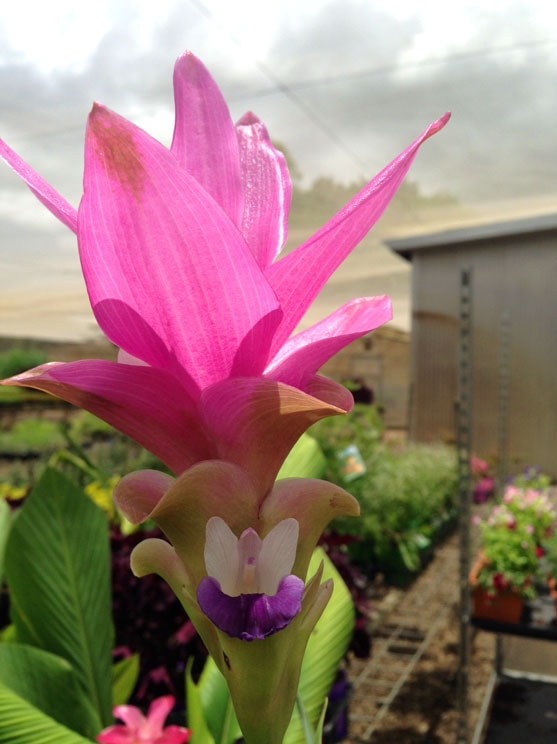 A bright pink, purple and white ginger flower