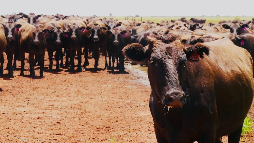 A herd of cattle in the outback.