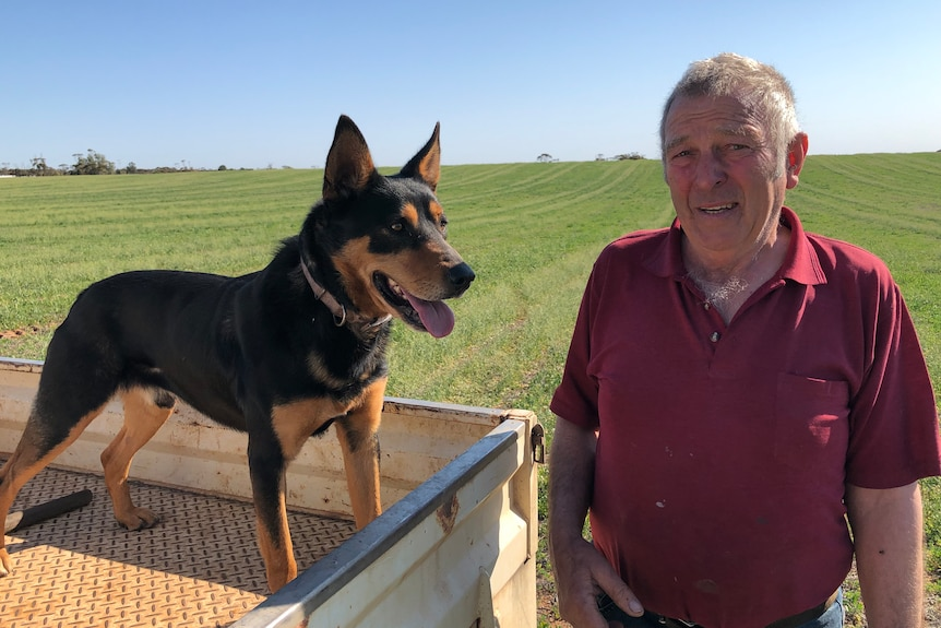 Boss the kelpie stands in the ute tray next to owner Neil Hamilton they are in a sheep paddock