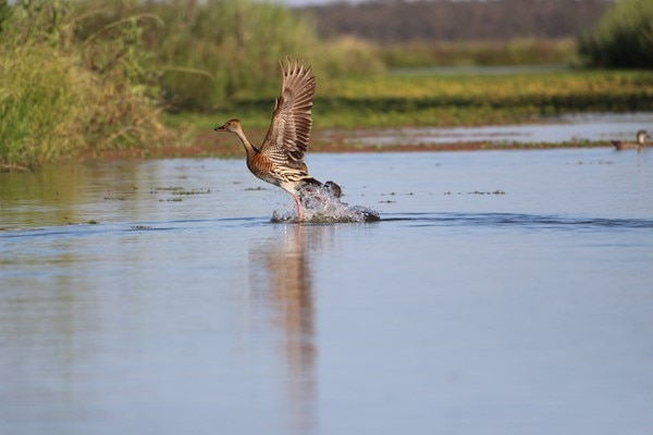A bird flies over the top of the water at the wetlands, with feet in water and wings spread out.