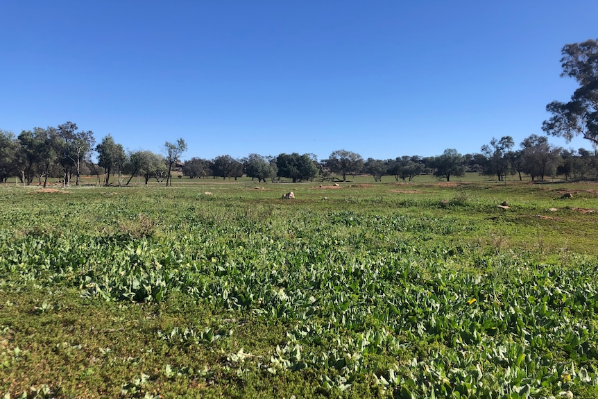 Green pasture growth in a paddock with blue sky and scattered trees and rocks.