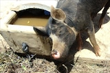 Farmers outraged over Coles sow stall pork ban