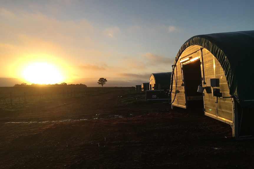 Dome shaped chicken coops in a line as the sun rises at Fox River establishment