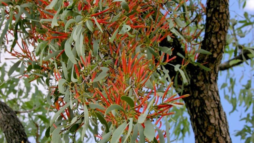 Orange flowers from mistletoe hanging from a tree it is growing on