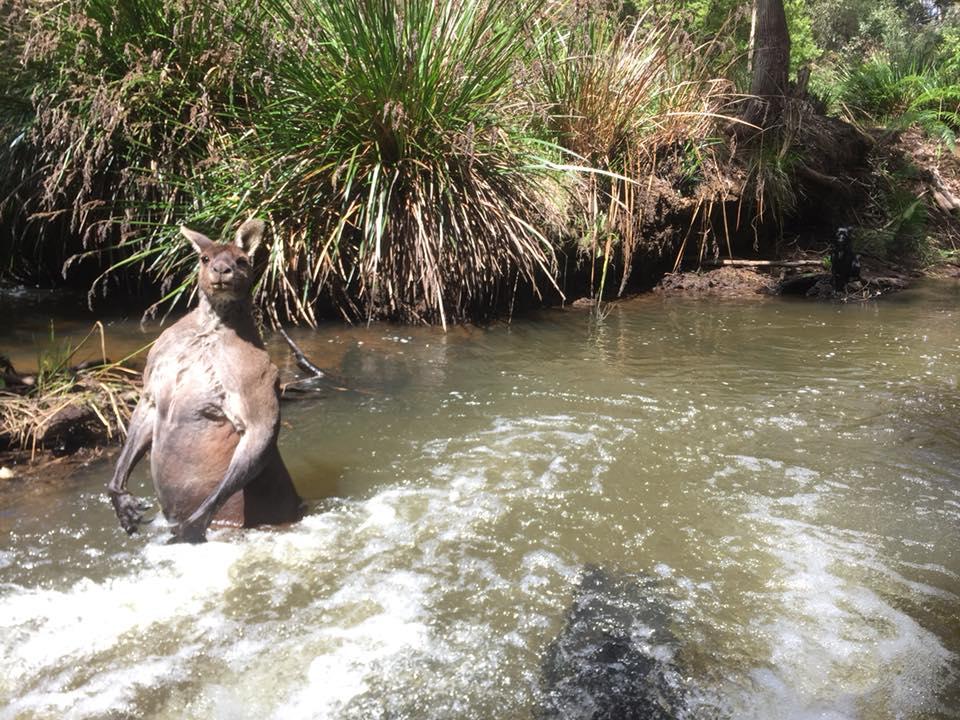 A muscular kangaroo standing in water.