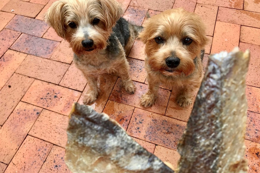 Two terriers are sitting obediently with eyes only for the fish treats being held out in front of them