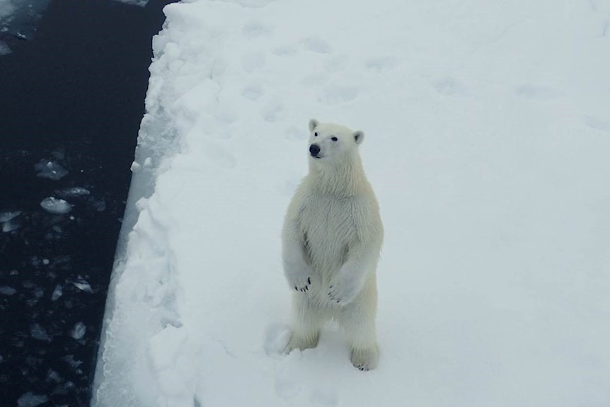 A curious polar bear approaches the R.V. Lance in the Arctic Sea