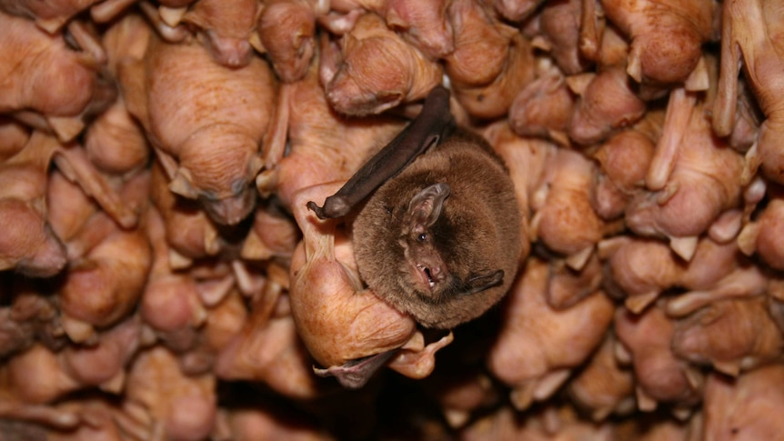 Bentwing bat with pup