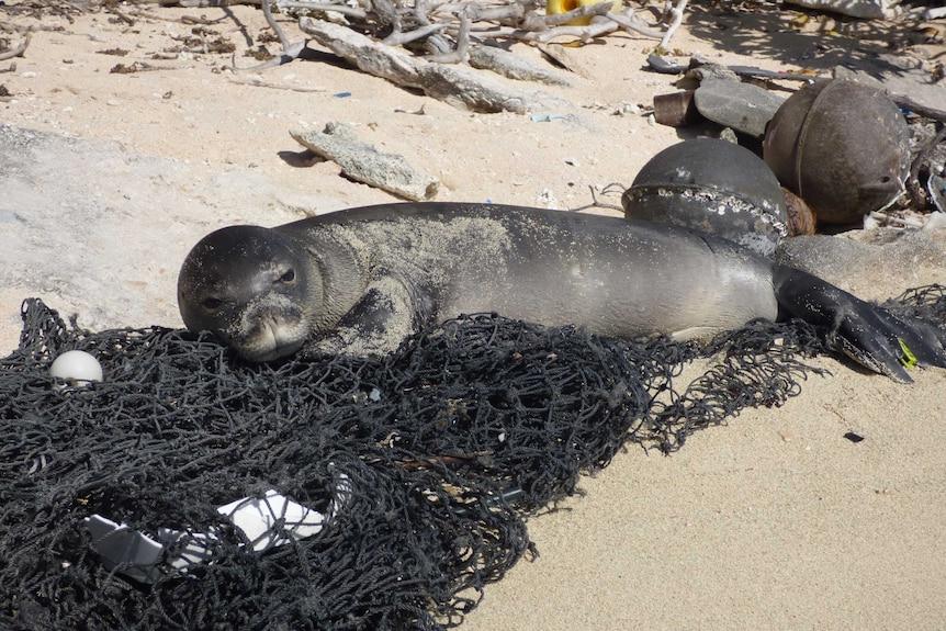 A seal lies on a fishing net