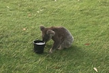 A koala drinks water from a bucket on a golf course.