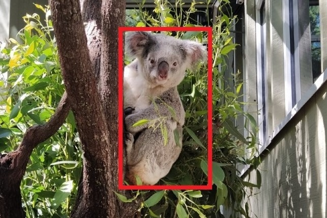 A koala in a tree looking directly at the camera.