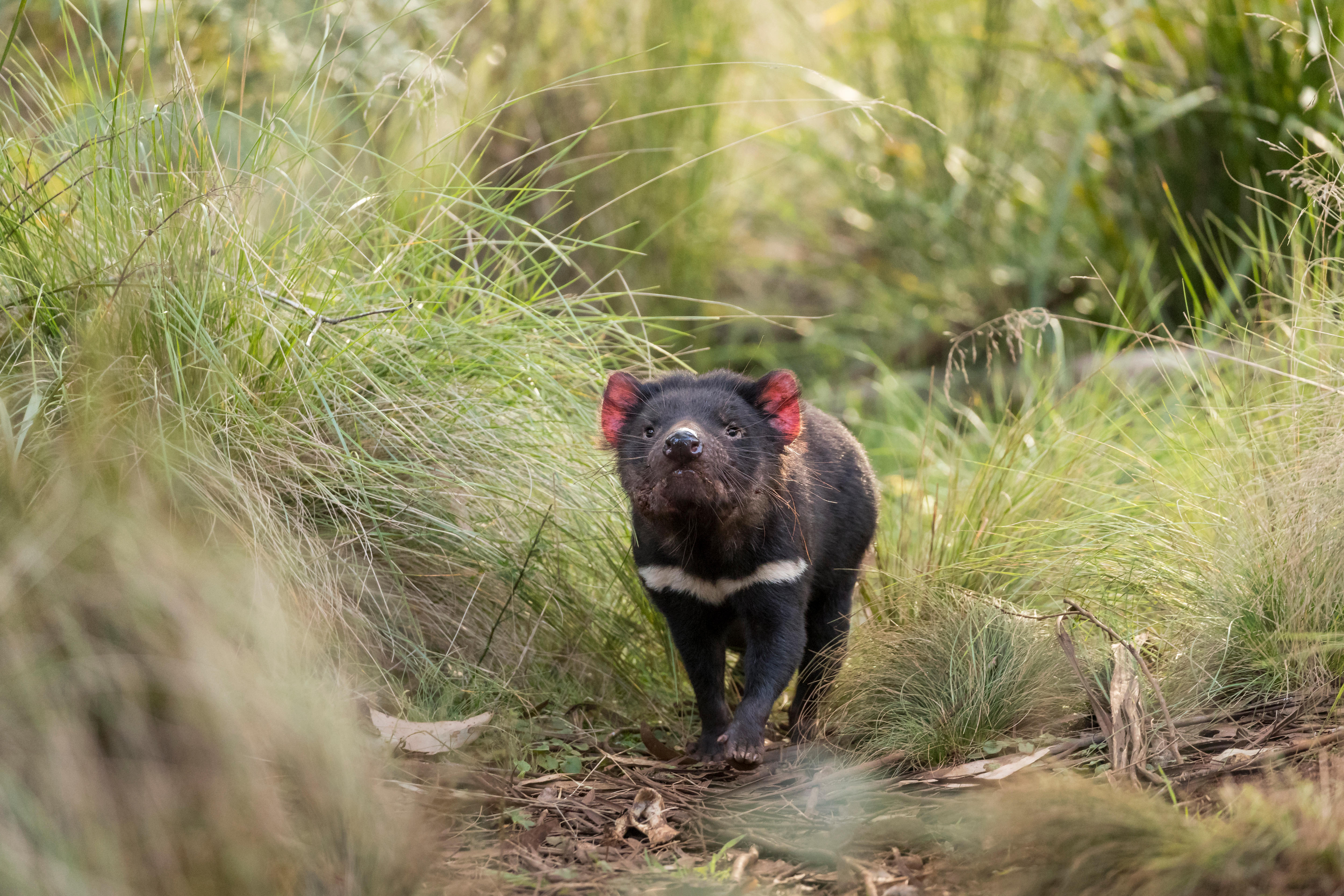 A Tasmanian devil in the bush.