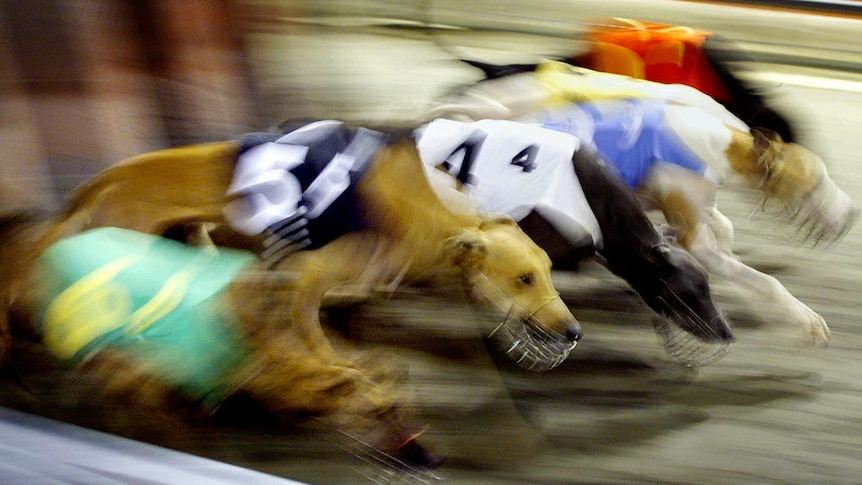 Greyhounds burst out of the starting gates